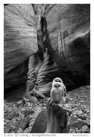 Juvenile owls in sculpted canyon chamber, Pine Creek Canyon. Zion National Park (black and white)