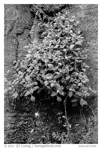 Wildflowers on steep wall. Zion National Park (black and white)