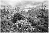 Wildflowers, cacti, and burned trees, Grapevine. Zion National Park ( black and white)