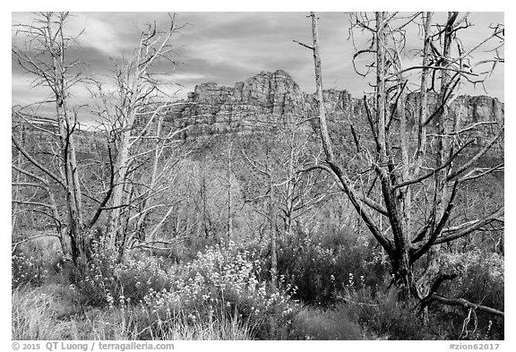 Wildflowers, burned trees, and cliffs, Grapevine. Zion National Park (black and white)