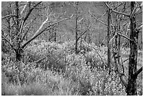 Tree skeletons and wildflowers, Grapevine. Zion National Park ( black and white)