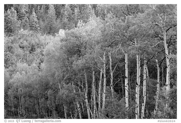 Aspen in early summer, Kolob Terraces. Zion National Park (black and white)