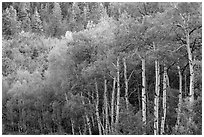Aspen in early summer, Kolob Terraces. Zion National Park ( black and white)