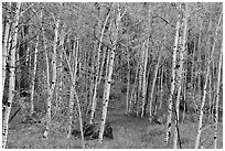 Slender aspen in summer, Lava Point. Zion National Park ( black and white)