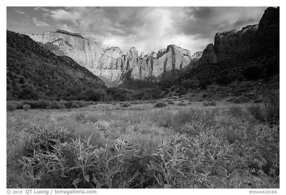 Wildflowers line up meadow under Towers of the Virgin. Zion National Park (black and white)