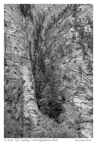 Pine forest clinging to steep cliffs. Zion National Park (black and white)