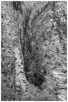 Pine forest clinging to steep cliffs. Zion National Park ( black and white)