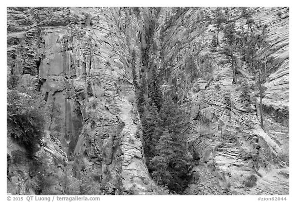 Pocket of forest on steep cliffs. Zion National Park (black and white)