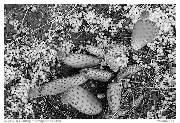 Close-up of cactus with hailstone. Zion National Park (black and white)