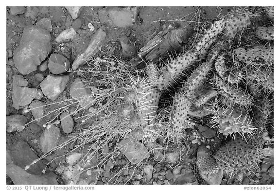 Close-up of flowering cactus, red soil, and hail. Zion National Park (black and white)