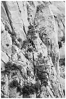 Trees and lightly colored cliffs. Zion National Park ( black and white)
