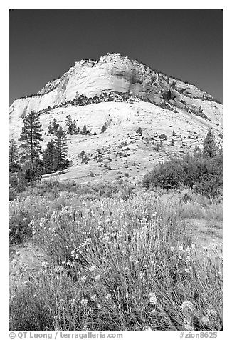 Sage flowers and Navajo sandstone formation, morning. Zion National Park (black and white)