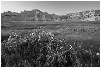 Sunflowers, meadow and badlands, late afternoon. Badlands National Park, South Dakota, USA. (black and white)