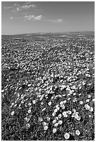 Prairie dog town and wildflowers carpet. Badlands National Park, South Dakota, USA. (black and white)