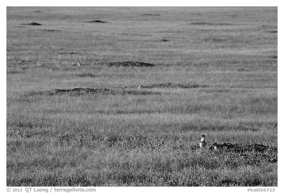 Roberts Prairie dog town. Badlands National Park (black and white)