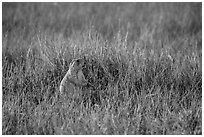 Prairie dog standing in grasses. Badlands National Park, South Dakota, USA. (black and white)