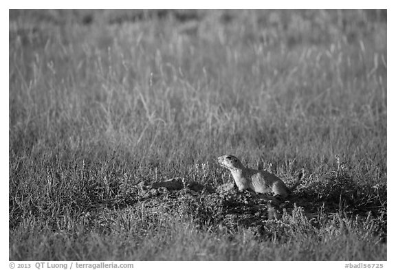 Prairie dog guarding burrow entrance. Badlands National Park (black and white)