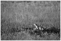 Prairie dog guarding burrow entrance. Badlands National Park ( black and white)
