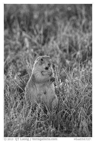 Standing prairie dog holding grass with hind paws. Badlands National Park (black and white)