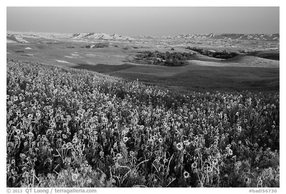 Sunflower carpet, late afternoon, Badlands Wilderness. Badlands National Park (black and white)