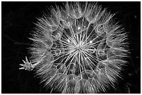 Close-up of dandelion. Badlands National Park, South Dakota, USA. (black and white)