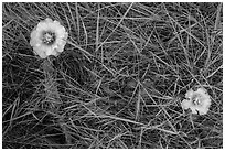 Prickly Pear cactus flowers and grasses. Badlands National Park, South Dakota, USA. (black and white)