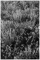 Mixed grasses, Stronghold Unit. Badlands National Park ( black and white)