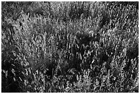 Mix of grasses, Stronghold Unit. Badlands National Park, South Dakota, USA. (black and white)