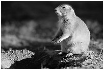 Prairie dog standing next to burrow, sunset. Badlands National Park, South Dakota, USA. (black and white)