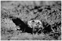 Prairie dog peeking out from burrow, sunset. Badlands National Park, South Dakota, USA. (black and white)