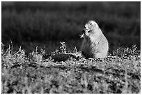 Prairie dog standing, sunset. Badlands National Park, South Dakota, USA. (black and white)