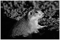 Prairie dog watching out from burrow, sunset. Badlands National Park, South Dakota, USA. (black and white)
