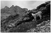 Mountain goat and Garden wall near Logan pass. Glacier National Park ( black and white)