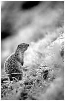 Ground squirrel. Glacier National Park, Montana, USA. (black and white)