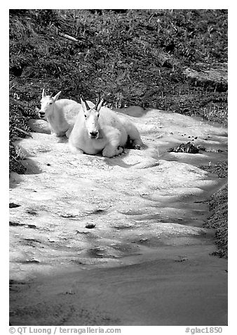 Mountain goats cool off on a neve at Logan Pass. Glacier National Park (black and white)