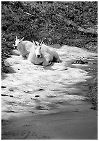 Mountain goats cool off on a neve at Logan Pass. Glacier National Park ( black and white)
