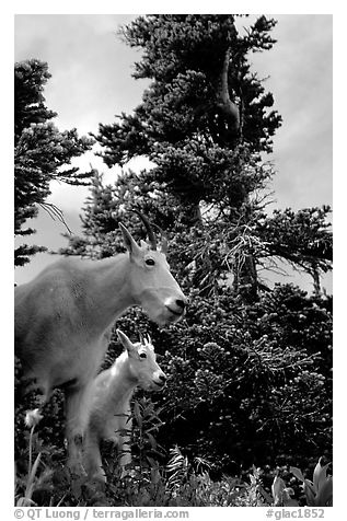 Mountain goat and kid in forest. Glacier National Park (black and white)
