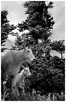 Mountain goat and kid in forest. Glacier National Park, Montana, USA. (black and white)