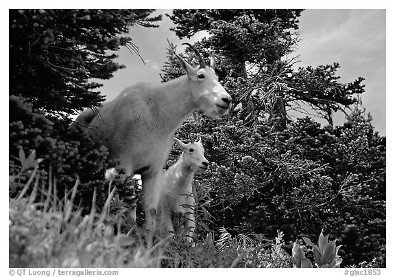 Two mountain goats in forest. Glacier National Park (black and white)