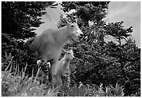 Two mountain goats in forest. Glacier National Park ( black and white)