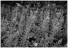 Wildflowers in the forest near St Mary. Glacier National Park ( black and white)