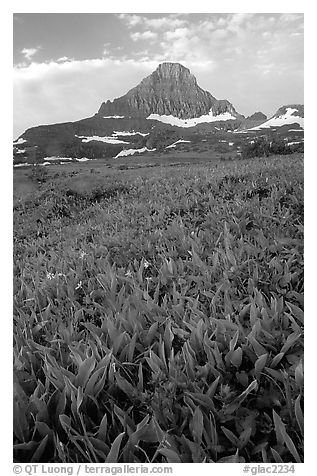 Indian paintbrush and peak, Logan pass. Glacier National Park (black and white)
