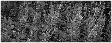 Fireweed. Glacier National Park (Panoramic black and white)