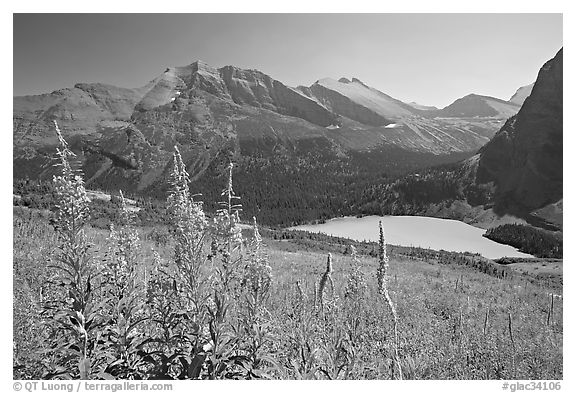 Fireweed and Grinnell Lake. Glacier National Park (black and white)