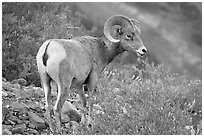 Bighorn sheep. Glacier National Park ( black and white)