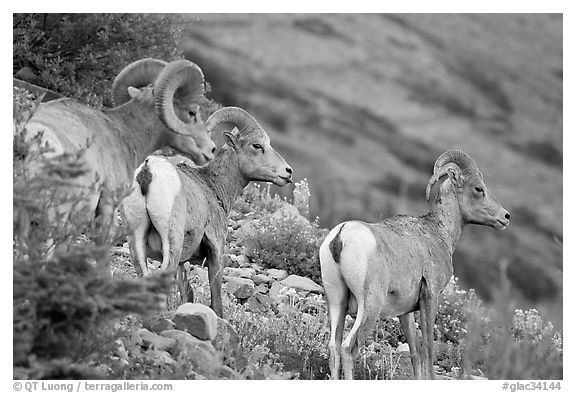 Three Bighorn sheep. Glacier National Park (black and white)