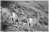 Three Bighorn sheep. Glacier National Park, Montana, USA. (black and white)