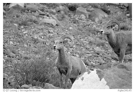 Two bighorn sheep. Glacier National Park (black and white)