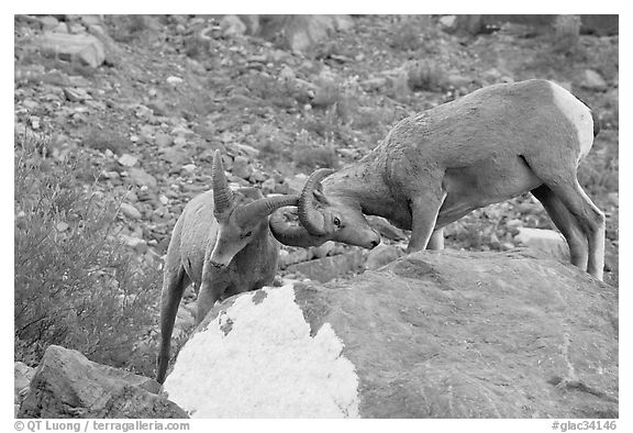 Bighorn sheep fighting. Glacier National Park (black and white)