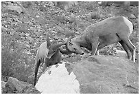 Bighorn sheep fighting. Glacier National Park ( black and white)